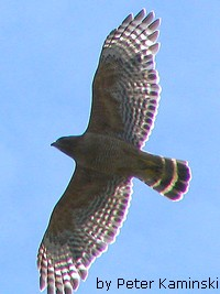 red-shouldered-hawk.jpg